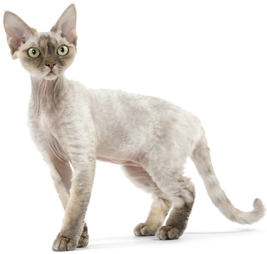 8 Cat Breeds That Arent As Wild As They Look  Care2